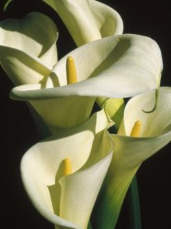 Calla lilies grow like seeds in my garden...I think they know I adore them and just want to burst forth everywhere...: Calla Lilies So, Calla Lillies Always, Craig Redl, Lilies Grow, Cala, Calla Lily, Calla Lillies Grace
