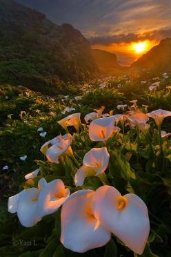 Calla Lily Valley, Big Sur (By Yan Photography) WOW: Nature, Calla Lilies, Big Sur, Sunset, Beautiful, Calla Lily, Flower, Callalilies