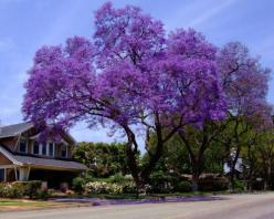 Can't wait! This one's on it's way! Needed a fast growing shade tree! This one claims to grow 15 ft in a year! Found it for 20 bucks online, that included shipping... royal empress tree!: Purple Trees, Jacaranda Trees, Royal Empress, Outdoor,