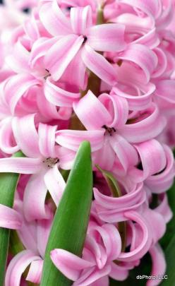 Can't you just smell these?: Note Card, Pink Flowers, Pretty Flowers, Beautiful Flowers, Flowers Garden, Pink Hyacinth, Hyacinth Smell, Favorite Flower