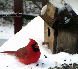 Cardinal ~ Time to Feed the Birds! (Garden of Len & Barb Rosen) http://ourfairfieldhomeandgarden.com/its-time-to-feed-the-birds/: Birdhouses Feeders, Birds Birdhouses Butterfly S, Birdhouses Birds, Bird Houses, Garden, Cardinals