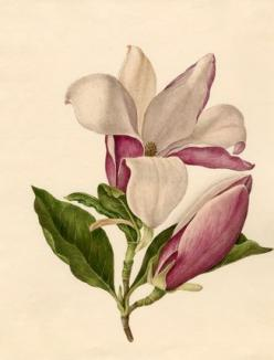 Caroline Maria Applebee -- Magnolia officinalis -- Caroline Applebee -- Artists -- RHS Prints: Magnolias, Officinalis Giclee, Art Botanical, Botanical Illustrations, Maria Applebee, Magnolia Officinalis, Magnolia Botanical