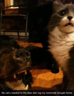 Cat reacts to a bear skin rug.: Cats, Giggle, Funny Cat, Poor Kitty, Funny Animal, Cat Faces, Bear Skin Rug