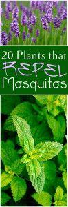 catnip repels mosquitoes and cockroaches.  CONSIDER IT DONE.  :): Mosquito Repellent Plants, Mosquito Repellant Plants, 20 Plants That Repel Mosquitos, Catnip Repels, Gardening Patios Outdoors, Mosquito Repelling Plants, Growing Gardening Plants, Repellin