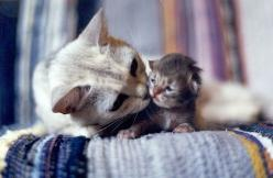 : Cats, Kiss, Animals, Sweet, Mothers, Pet, Baby, Kittens, Kitty