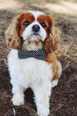Cavalier King Charles Spaniel: Dogs, Bow Ties, Charles Spaniels, Pet, Puppy, Cavalier King, Friend, Animal