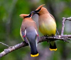 cedar waxwing | Cedar Waxwings: Cedarwaxwings, Animals, Nature, Wax Wing, Beautiful Birds, Photo, Bird Watching
