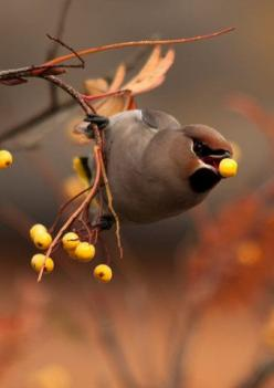 Cedar Waxwing - every Fall for a few days we have flocks of these that eat ALL the red berries in sight and then leave for the Winter. I've seen 30+ on a bush at once and the berries disappear overnight.: Animals, Nature, Autumn, Fall, Cedar Waxwing,