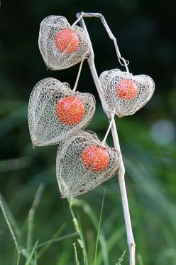 Chinese Lantern Plant  I have never seen a plant such as this, so fascinating: Chinese Flower, Chinese Lanterns, Plants, Flowers, Photo, Chinese Garden