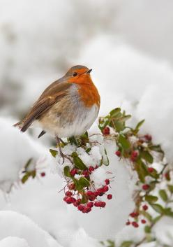 Christmas Robin, Saltburn woods, England: English Robin, Animals, Saltburn Woods, Winter Garden, Christmas Landscape, Birds, Christmas Robin