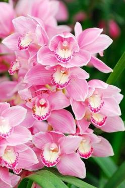 Collection of beautiful and exotic flowers. Photography featuring exotic flowers from around the world. Must see exotic flowers for gardening lovers. Exotic: Pink Cymbidium, Beautiful Flowers, Exotic Flowers, Flowers, Photo, Garden, Pink Orchids