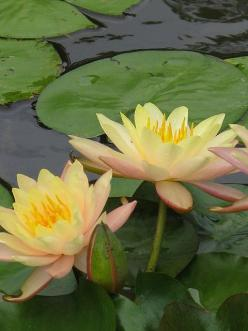 colors, via Flickr.: Photos, Flowers Gardens Etc, Lily Pond, Color, Beautiful, Flowers Reference, Flowers, Water Garden, Flowers Gardens Trees And