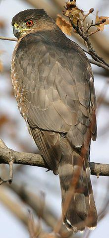 Cooper's Hawk. These as well as the similar but smaller Sharp-shinned hawks are attracted to backyard bird-feeders.: Accipiter Cooperii, Hawks, Beautiful Birds, Coopershawk, Animal, Birds Raptors