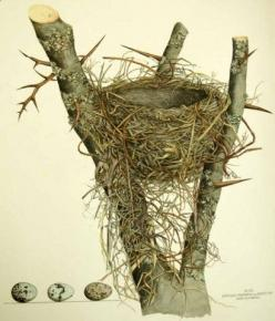 Cornell Library of Ornithology - love them! i use ebird all the time.: Nest Illustration, Birds Nests, Bird Nests, Birdhouses Nests Birdbaths, Bird Illustrations, Beautiful Birds, Eggs Nests Birdcages, Birdnest