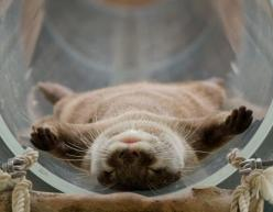 #crazyotterlady? if cats did not exist, I would have otters running around my house.: Animals, Cuteness, Guy, Otters, Adorable Otter, Things, Otterly Adorable