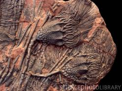 Crinoid fossils. Rock containing crinoid (or sea lily) fossils. These are Scyphocrinus elegans crinoids from the Silurian/Devonian period (about 440-360 million years ago). Crinoids are marine echinoderms that appear as early as the Ordovician period (500