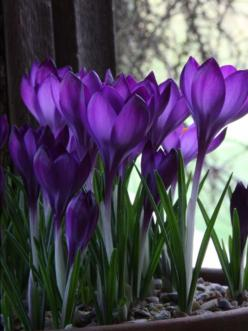 Crocus: First smile of spring. Cant wait! All FREE!!! Download the E-book of DIY colletions with this, Click the website button.: Purple Flowers, Beautiful, Purple Passion, Things Purple, Color Purple, Purple Crocus, Spring, Garden, Purplepassion