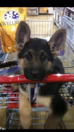 Cutess thing I've ever seen!!!!!!! Ahhh!!!: German Shepards, Dogs, Puppys, German Shepherd Puppies, German Shepherds, German Sheperd