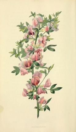 Cytisus purpueus / Purple-flowered cytisus, illustration from Flora Conspicua, published in 1826  |  View book online: http://openlibrary.org/books/OL13520643M/Flora_conspicua: Vintage Flower, Botanical Flowers, Botanical Illustrations, Vintage Botanical
