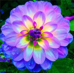 Dahlia--It almost glows! The colors are gorgeous!: Nature, Color, Dahlias, Beautiful Flowers, Tattoo, Pretty Flower, Garden