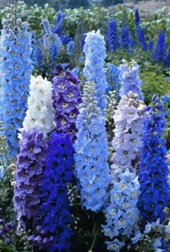 Delphinium . . . this is SO lovely. -plan for outside kitchen window a blue and white bed?: Blue Flowers, Delphiniums, Kitchen Window, Beautiful Flowers, Blue Delphinium, Flowers Garden