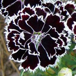 Dianthus Heddewigii black and white... very few flowers have black so I think they are kinda cool...: Dianthus Heddewigii, Heddewigii Black, Black And White, Black Flower, Black White, Beautiful Flowers, Flower Seeds, Garden
