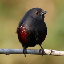 Dusky Twinspot: this localised and beautiful finch is common at Mount Moco, which is probably the best place in the world to see this species (Tasso Leventis): Estrildid Finch, Awesome Birds, Amazing Birds, Birdwatching, Dusky Twinspot, Beautiful Birds, B