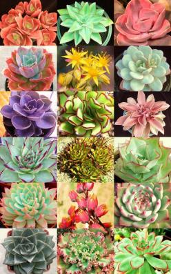 ECHEVERIA variety mix @@ rare plant exotic succulent seed flowering pot 20 seeds $4.95: Seed Flowering, 20 Seeds, Variety Mix, Exotic Succulent, Rare Plants, Flowering Pot, Succulent Seed, Plant Exotic, Echeveria Variety