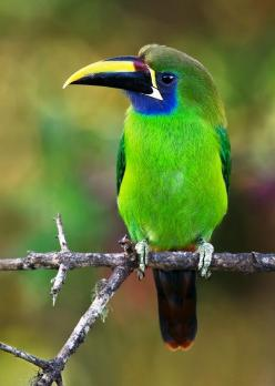 Emerald Toucanet is a bird occurring in mountainous regions from Mexico, through Central America, to northern Venezuela and along the Andes as far south as central Bolivia.: Emerald Toucanet, Emeralds, Animals, Poultry, Featheredfriends, Doug Brown, Beaut
