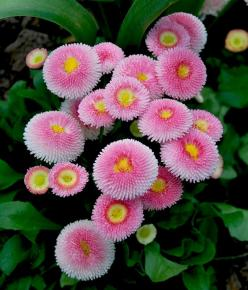 English Daisy (Bellis perennis): Pink Flowers, Amazing Flowers, English Daisies, Flowers Plants, Gardens, Beautiful Flowers, Flower