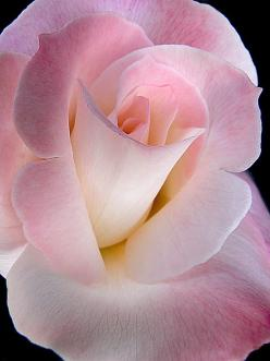Exquisite!: Pink Roses, Beautiful Roses, Color, Beautiful Flowers, Pink, Beauty, Flowers, Garden