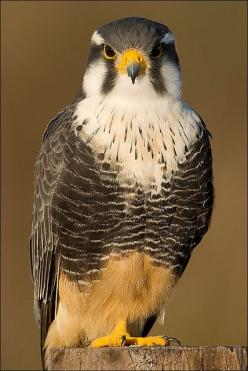 Falcon. There are approximately 10,000 bird species in the world. This number varies by a few hundred birds, depending on which classification system you use.: Animals, Birdie, Falcons, Beautiful Birds, Birds Raptors