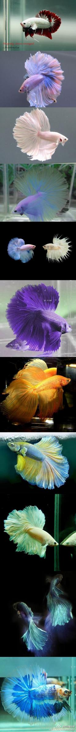 Fancy Fishies!: Beautiful Beta, Pretty Fish, Beta Fish, Fancy Fish, Beautiful Betta, Betta Fish, Animal