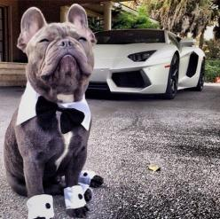 Fancy French Bulldog with Lamborghini. Bat dog and bat car: French Bulldogs, Adorable Animals, Pet, Frenchbulldogs, Fancy French, Things, Frenchie
