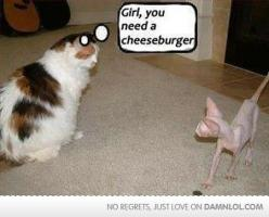 "Fat cat. Calico. Skinny cat. Hairless. ""Girl, you need a cheeseburger."": Cats, Animals, Girl, Funny Stuff, Humor, Funnies, Cheeseburger"