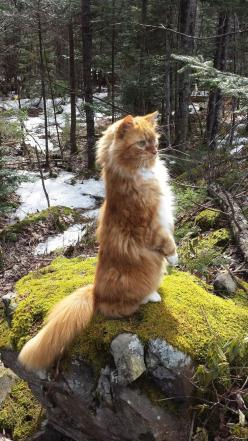 fearlessly scouting the woods...: Cats, Animals, Kitten, Norwegian Forest Cat, Maine Coon, Fearlessly Scouting, Kitty, Mainecoon