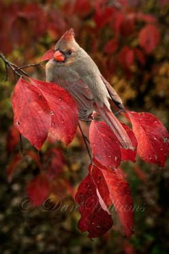 Female cardinal   (...cr....female cardinals are just gorgeous....love the olivey color with a little of the red....just beautiful): Animals, Redbird, Nature, Autumn, Female Cardinal, Beautiful Birds, Red Birds, Cardinals