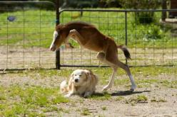 Foal jumping over dog....look at how high he tucks those knees, a born hunter or jumper!!: Animals, Equine, Horses, Equestrian, Foal, Dogs Face