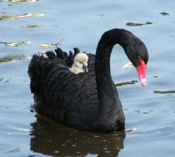 For some 1500 years the black swan existed in the European imagination as a metaphor for that which could not exist.: Babies, Animals, Mother, Blackswan, Beautiful, Creatures, Birds