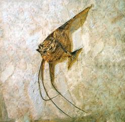 Fossil Fish ~another example of RAPID fossilization - not over millions of years - soft tissue would have ROTTED before it could fossilize.: Fish Love Fossils, Fossilia Fossils, Crystals Gems Fossils, Nature Fossil, Paleosito Italiano