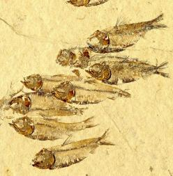 Fossil herrings from the Eocene Green River Formation of the western United States where Colorado, Utah and Nevada meet. Photo by Matt Friedman.: Fish Fossils, Fossils Rocks Geology, Nevada Meet, Fossil Herrings, Bony Fishes, Green River, Eocene Green, Cr