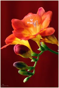 fragrant freesia my favorite aromatic flower.: Freesia Smell, Red Freesia, Flowers Plants, Beautiful Flowers, Orange Flowers, Orange Freesia, Close Up, Favorite Flower