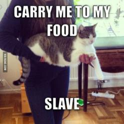 Funny Cat: Slave, Animals, Funny Cats, Fat Cat, Crazy Cat, Funnies, Humor, Funny Animal