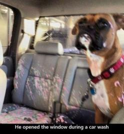 funny pictures of dogs. This my friends is exactly why dog owners need locking windows lol poor puppy: Funny Animals, Dog Shaming, Dogs, Window, Boxer, Cars, Carwash, Car Wash