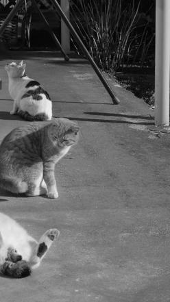 Get up! We're entering the Rose Garden now, and you look ridiculous lolling about like that!: Cats Meow, Cat, Cats Gangs, Cats ️ ️, Cats Cats Cats, Cats Dogs, Gatti 猫 Chats Cats, Cats Love, Meow Cats