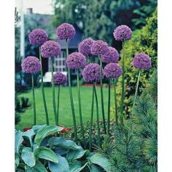 giant allium, layer with more full plants with pretty leaves: Ideas, Allium Flowers, Giant Allium, Flowers Plants, Flower Bulbs, Allium Bulbs, Garden