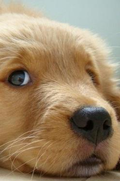 Golden Retriever puppy!! ADORABLE!!: Sweet, Dogs, Golden Retrievers, Pet, Animal, Golden Retriever Puppies, Eye