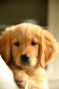 Golden Retriever we need a family dog: Animals, Dogs, Golden Retrievers, Pet, Puppys, Baby, Golden Retriever Puppies, Golden Retriever