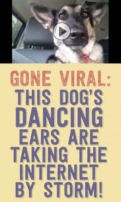 GONE VIRAL! This dog's dancing ears are taking the internet by storm!!: Doggie, Amazing Dogs, Dogs Dancing, Dog S Dancing, Funnies