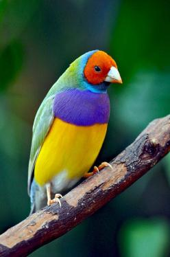 Gouldian finch - ©Eric Perlstrom (Perl Photography) www.flickr.com/photos/erpd50/12786043514/: Perl Photography, Rainbows, Beautiful Birds, Animals Birds, Rainbow Finch, Color Combination